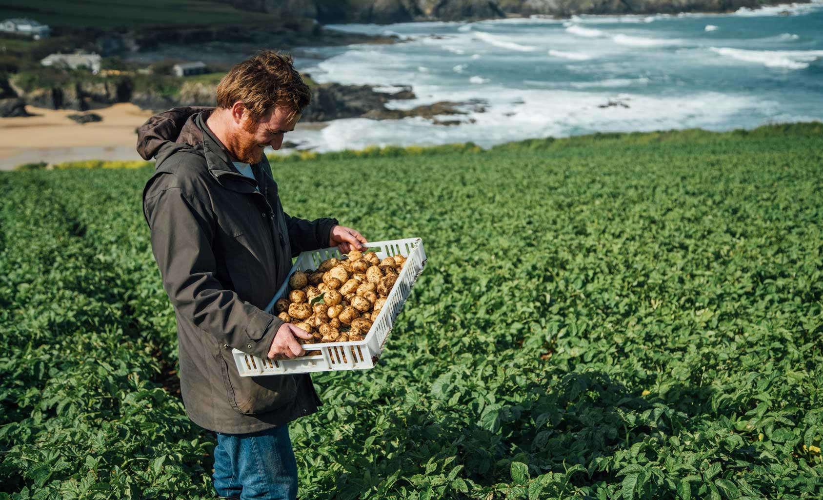 Jack Stein harvesting fresh seasonal new potatoes in Cornwall.